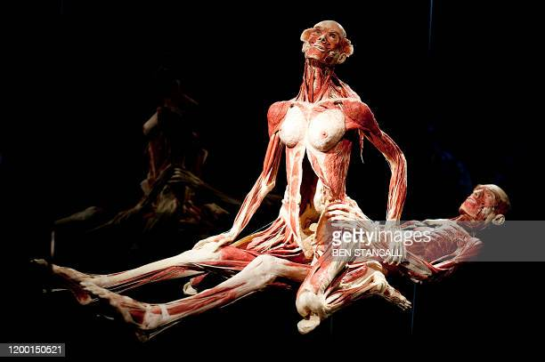 A sculpture by German plastinator Gunther von Hagens is pictured during a press conference as he unveils his new sex plastinates for his Body Worlds...