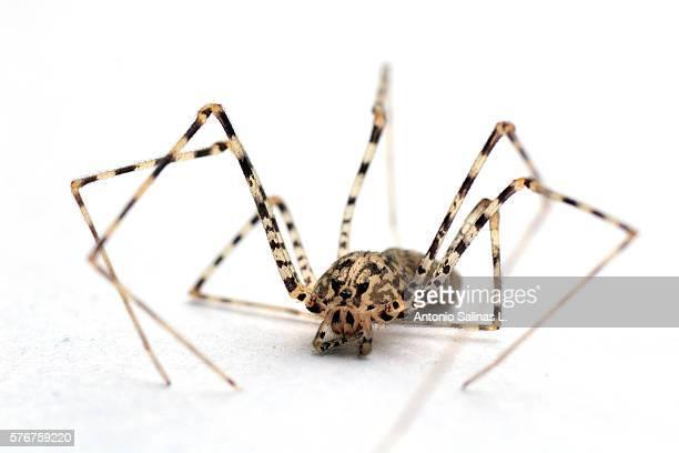 Scytodes globula - Araña Tigre - tiger spider