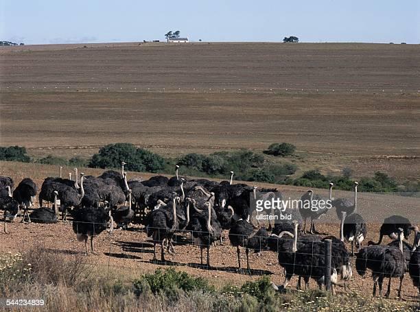 Südafrika Westkap Straussenfarm bei Swellendam um 2005