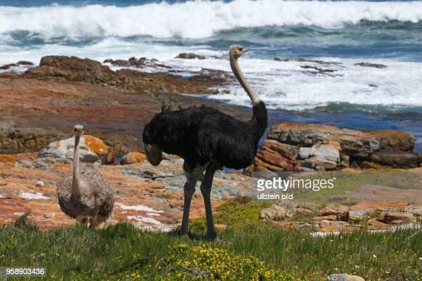 Südafrikanische Strauße , Männchen und Weibchen, Kap der Guten Hoffnung, Nationalpark Tafelberg, Westkap, Republik Südafrika