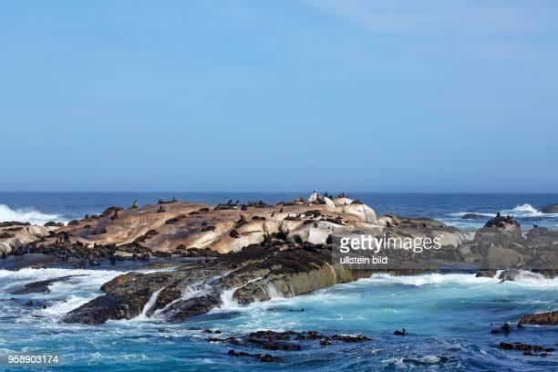 Südliche Seebären Südafrikanische Seebären, Ohrenrobben, Kolonie auf Felseninsel, Robbeninsel Duiker Island in der Hout Bay bei Kapstadt, Republik...