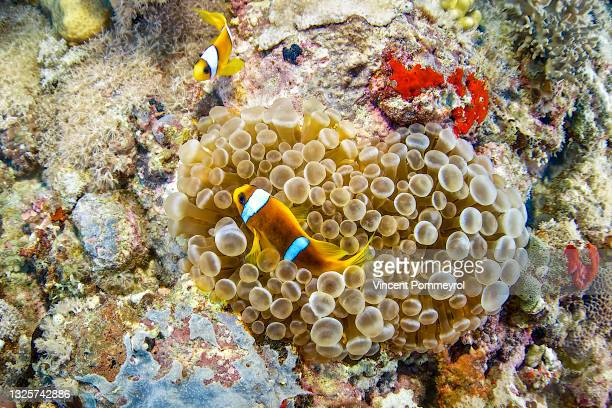 sea anemone and clown fish - underwater film camera stock pictures, royalty-free photos & images