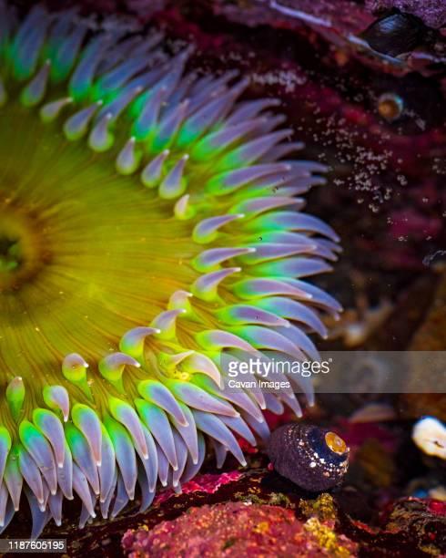 sea anemone and coral close up in fort bragg state park tidepool - tidvattensbassäng bildbanksfoton och bilder
