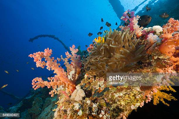 Sea Anemone at Numidia Wreck Heteractis magnifica Brother Islands Red Sea Egypt