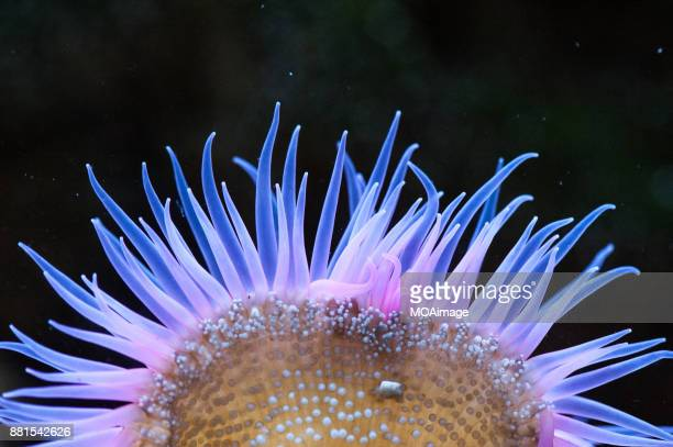sea anemone - tentacle stock pictures, royalty-free photos & images