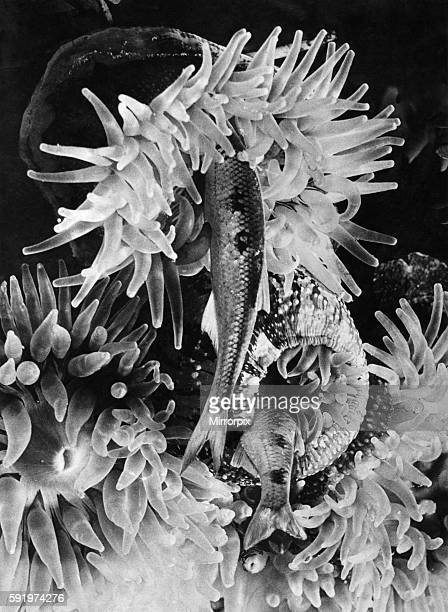 A Sea Anemone tentacles close over its prey which is drawn down into to sac of a stomach April 1935