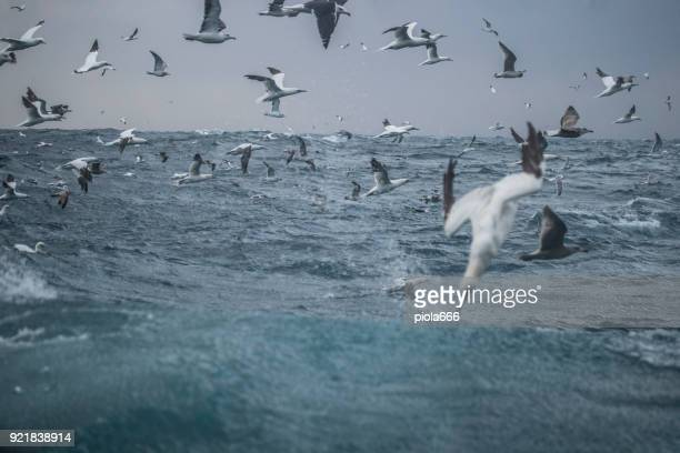 Sea aquatic birds: feeding frenzy behavior