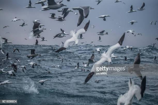 sea aquatic birds: feeding frenzy behavior - gannet stock photos and pictures