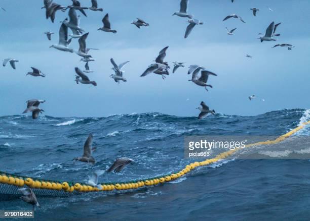 Sea aquatic birds: feeding frenzy behavior