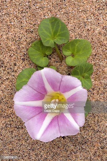 Sea bindweed, Convolvulus soldanella, summer coastal flower, Dawlish Warren, Devon, UK