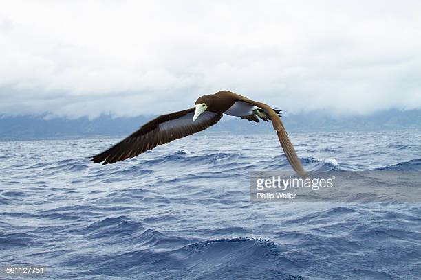 Sea bird flying over ocean waves, close-up