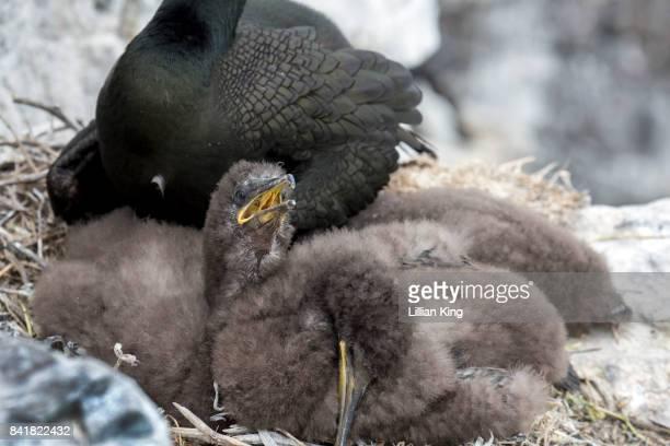 Sea Bird Shag and babies