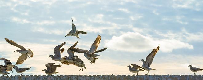 Sea birds flying freely 517580688