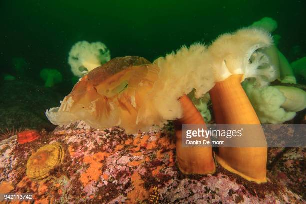 sea blubber jellyfish (cyanea capillata) being eaten by plumose sea anemones (metridium senile) near meyers chuck, ketchikan, alaska, usa - lions mane jellyfish stock pictures, royalty-free photos & images