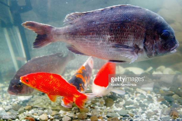 Sea bream and carp swim together in the same aquarium during the Nano Tech 2004 exhibition on March 17 2004 in Tokyo Japan The National Institute of...