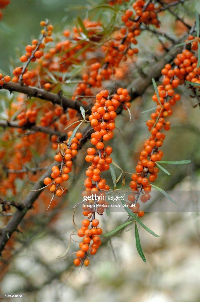 Sea buckthorn berries on the bush : Photo