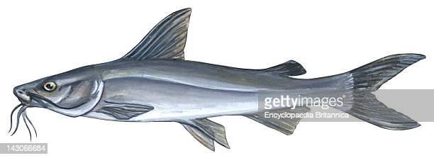 Sea Catfish Sea Catfish