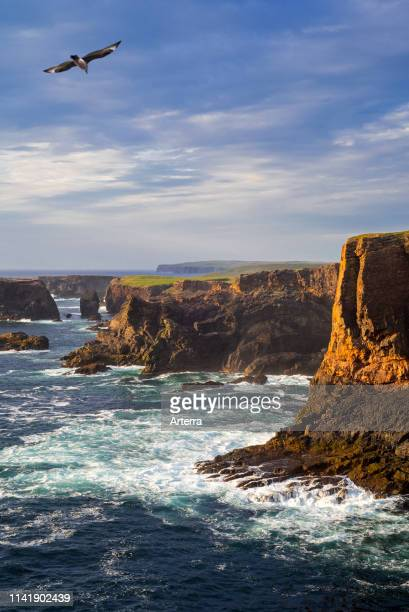 Sea cliffs and sea stacks at Eshaness / Esha Ness at sunset and approaching dark storm clouds in Northmavine Mainland Shetland Islands Scotland UK