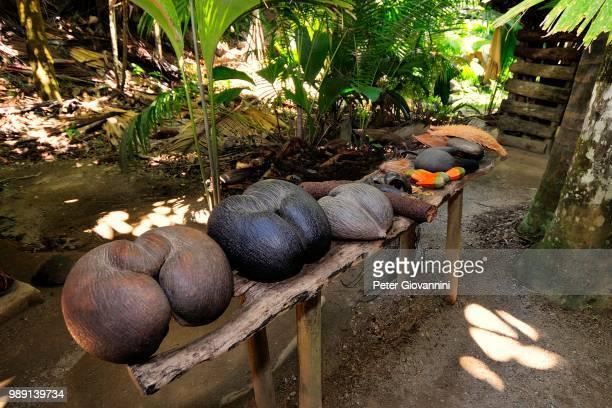 sea coconut, coco de mer (lodoicea maldivica), nature reserve vallee de mai, unesco world heritage site, praslin island, seychelles - coco de mer stock photos and pictures