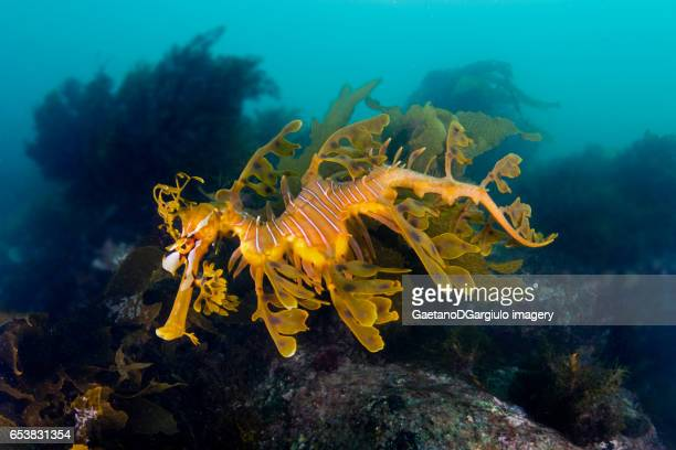 Sea Dragon between rocks
