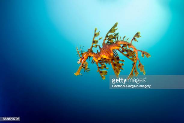 sea dragon in the blue - sea horse stock photos and pictures