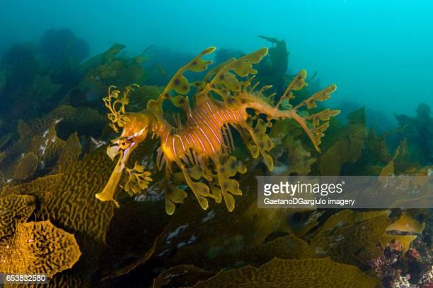 Sea dragon in the kelp