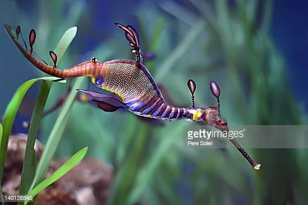 sea dragon - hippocampe photos et images de collection
