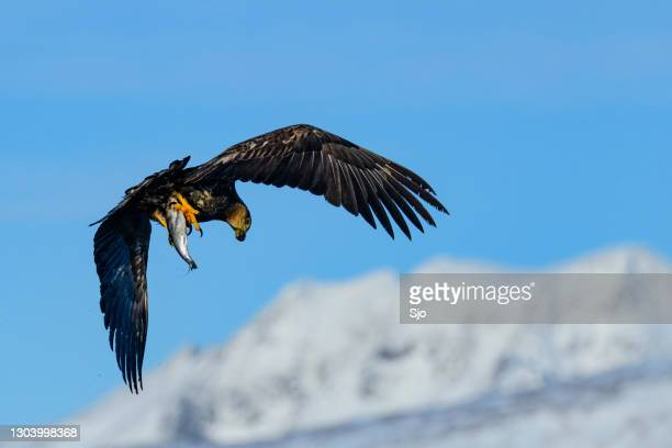 "sea eagle or white-tailed eagle catching a fish in the sky over northern norway - ""sjoerd van der wal"" or ""sjo"" stock pictures, royalty-free photos & images"