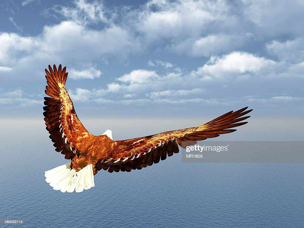 Sea Eagle : Stock Photo