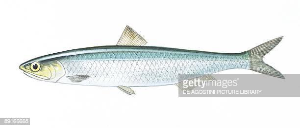 Sea European anchovy illustration