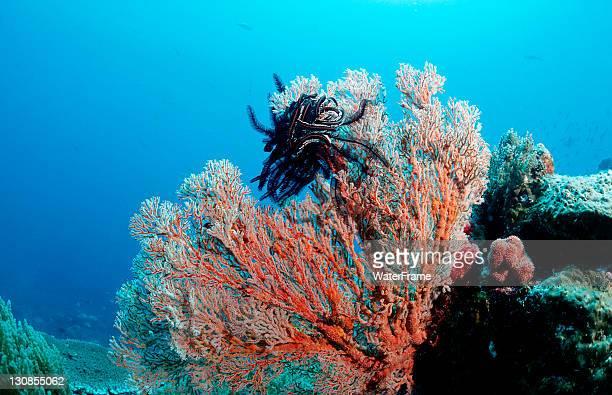 sea fan (gorgonaria sp.) with crinoid (crinoidea), manado, sulawesi, celebes sea, indonesia - crinoidea stock pictures, royalty-free photos & images