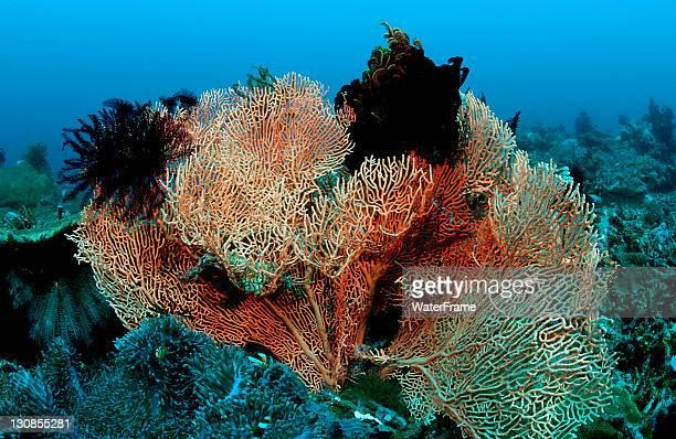 sea fan with crinoids (gorgonaria sp., crinoidea), komodo, indian ocean, indonesia - crinoidea stock pictures, royalty-free photos & images