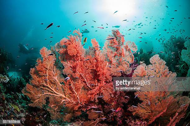 sea fans against the blue - soft coral stock pictures, royalty-free photos & images