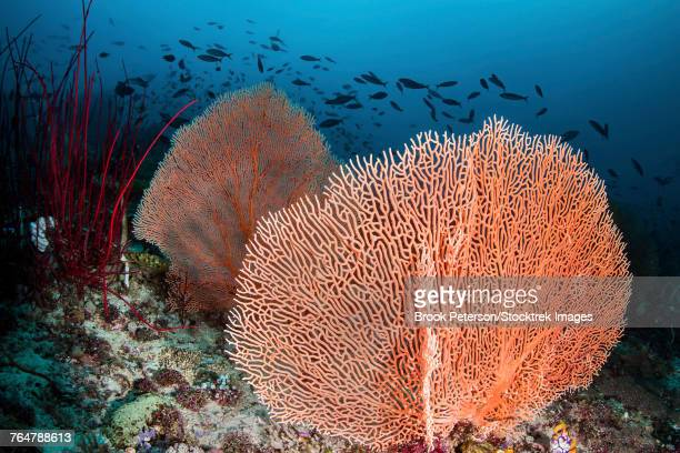 Sea fans and fish on a coral reef, Raja Ampat, Indonesia.