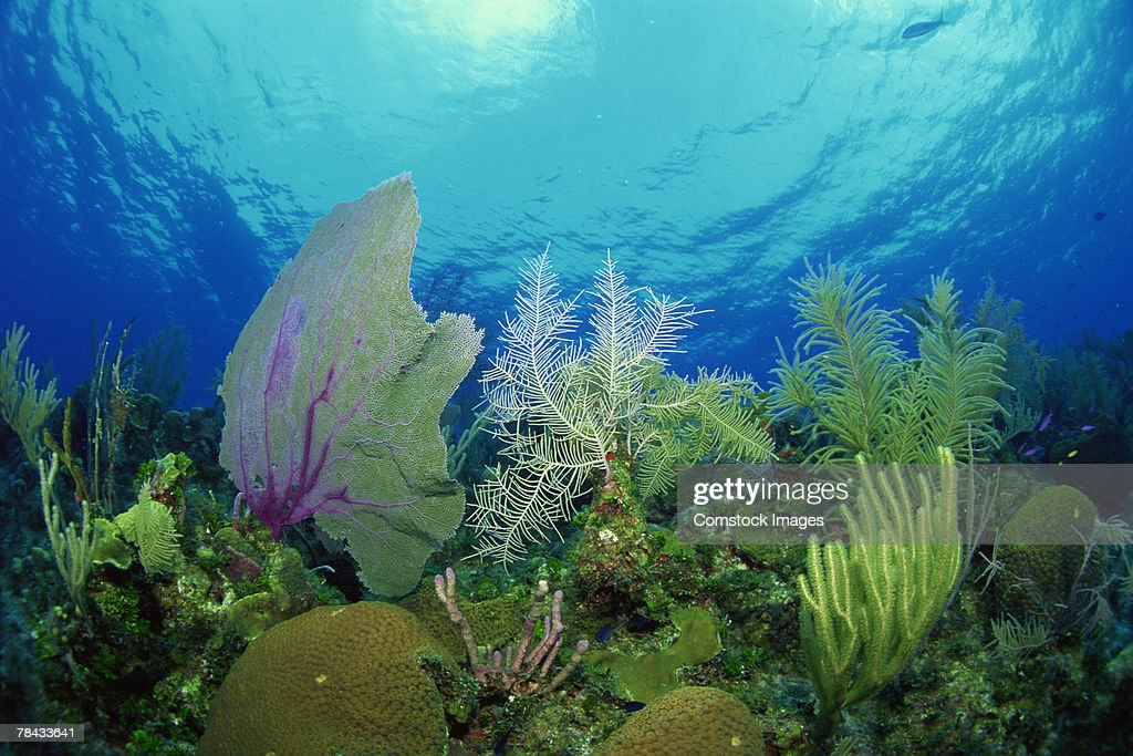 Sea fans and sponges on coral reef : Stockfoto