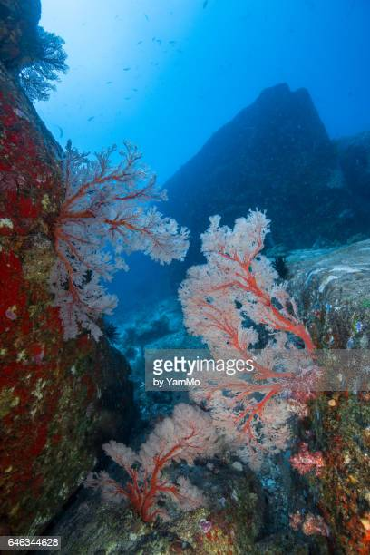 Sea fans between the rock