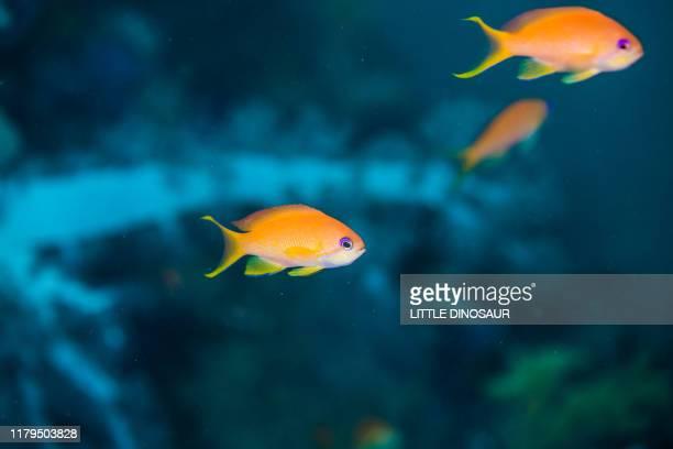 sea goldie, pseudanthias squamipinnis (peters, 1855) , female - 熱帯魚 ストックフォトと画像