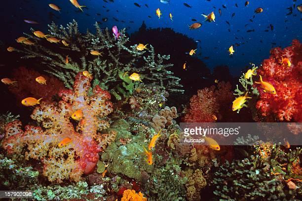 Sea goldiePseudanthiasæsquamipinnismales purple females yellow in soft coral Fiji