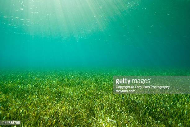 sea grass beds (thalassia) - ocean floor stock pictures, royalty-free photos & images