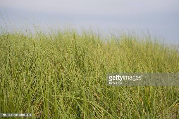 sea grass - sag harbor stock photos and pictures