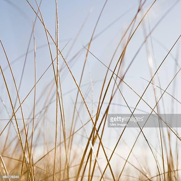 Sea grasses on Long Beach Peninsula,on the coast of Washington state.