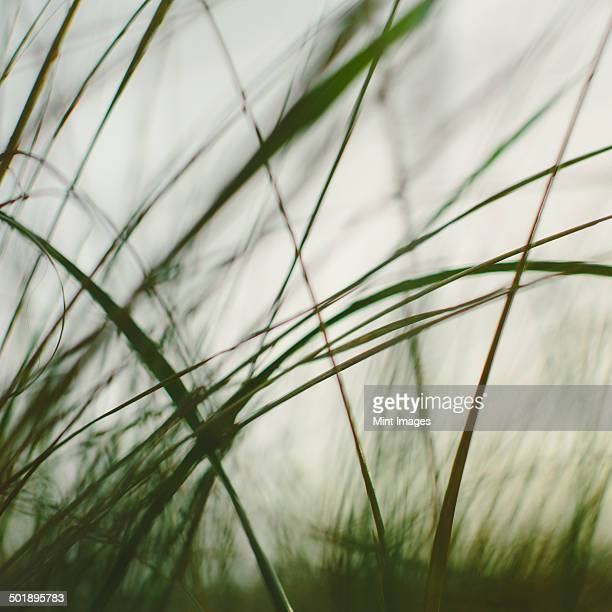 Sea grasses on the sand dunes on Long Beach Peninsula dunes. Close up.