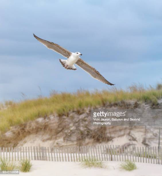 sea gull against dunes and blue sky - wader bird stock photos and pictures