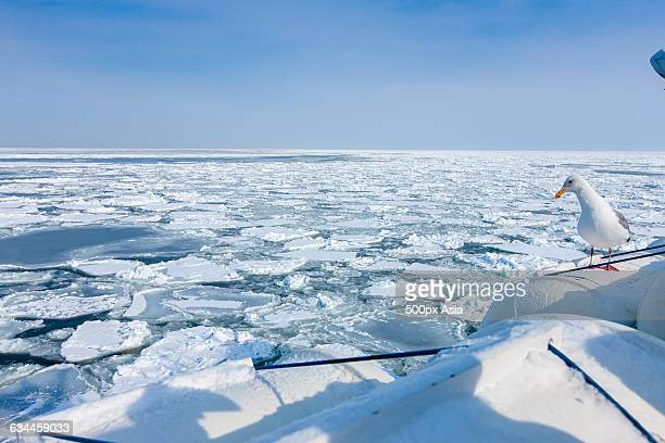 sea gull of the sea of okhotsk - sea of okhotsk stock pictures, royalty-free photos & images