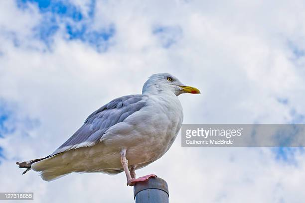 sea gull - catherine macbride stock pictures, royalty-free photos & images