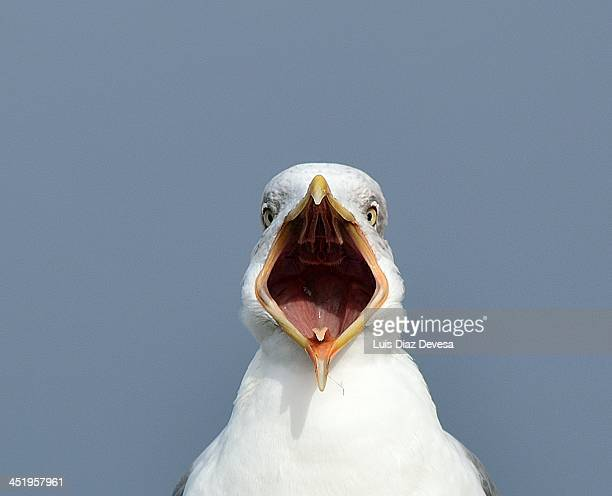 sea gull - gaivota - fotografias e filmes do acervo