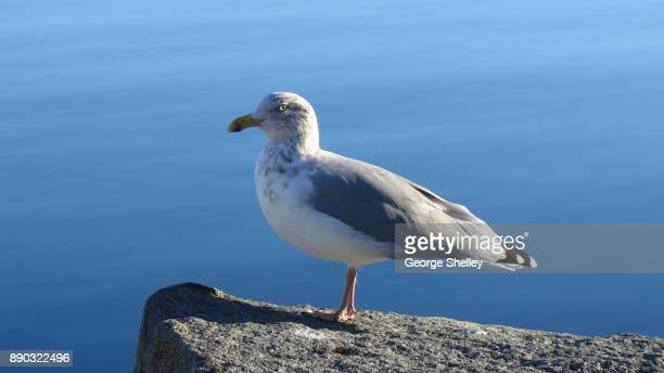 Sea gull sitting on a rock