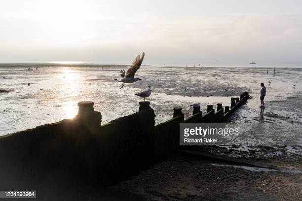 Sea gull takes-off from a sea defence groyne as staycationers walk on low-tide mud flats, on 25th July 2021, in Whitstable, Kent, England.