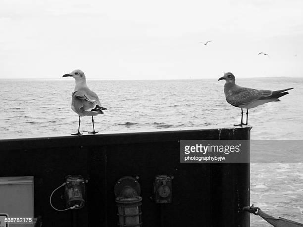 sea gulls along for the ride - southport north carolina ストックフォトと画像