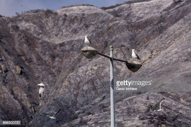 Sea gulls are seen against a background of ashen hillsides that had burned in burned in the Thomas Fire on December 20 2017 near Carpinteria...